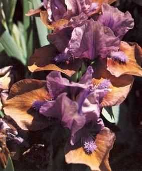 Iris pumila 'Daring Do'