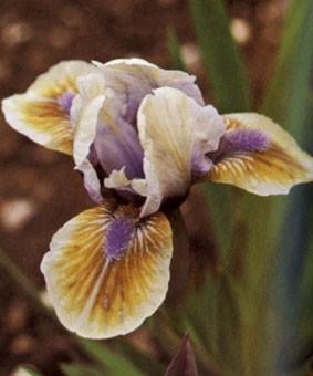 Iris pumila 'Exotic Shadow'