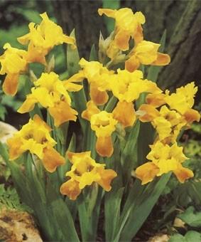 Iris pumila 'Gleaming Gold'