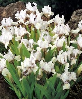 Iris pumila 'Green Little'