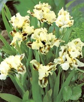 Iris pumila 'Green Spot'