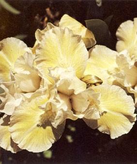 Iris pumila 'Lady of Nepal'