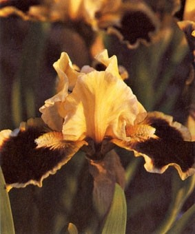 Iris pumila 'Meadow Court'