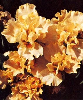 Iris pumila 'Melon Honey'