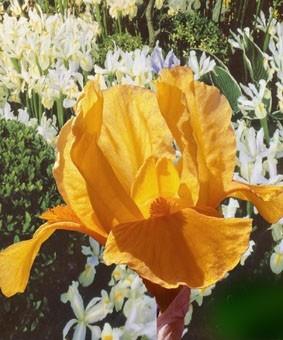 Iris pumila 'Orange Caper'