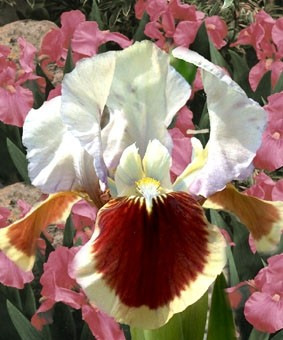 Iris pumila 'Red Heart'