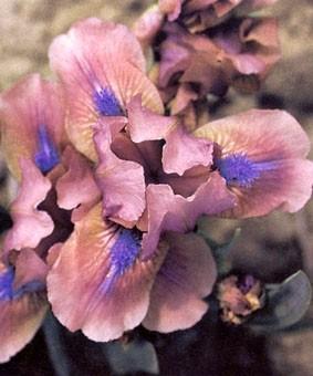Iris pumila 'Voltz'