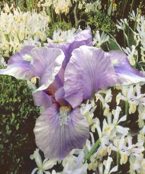 Iris pumila 'Yo Yo'