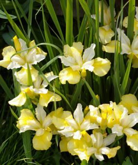 Iris sibirica 'Yellow Tail'