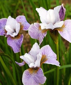 Iris sibirica 'Pleasure of May'