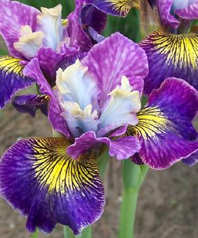 Iris sibirica 'Charming Billy®' NEW 2018