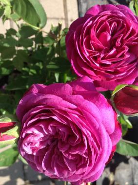 Роза 'Johann Wolfgang von Goethe Rose'