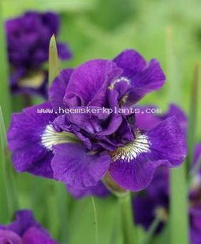 Iris sibirica 'Kaboom'