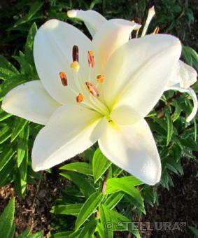 Lilium la 'Bright Diamond'