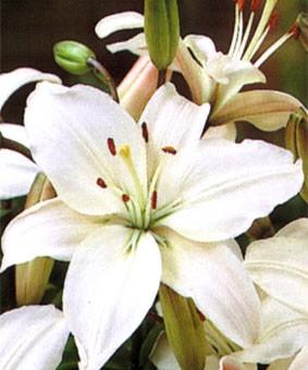 Lilium az 'Lagio'