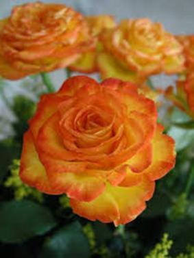 Роза 'Latin Beauty'