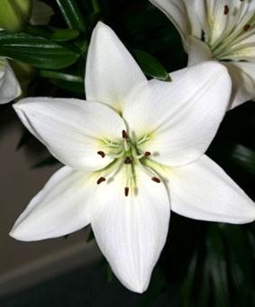 Lilium az 'Yeti'