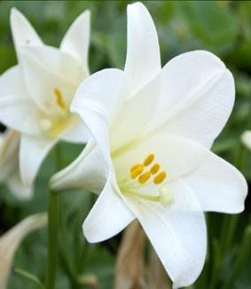 Lilium long 'White American'