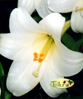 Lilium long 'Jules Verne'