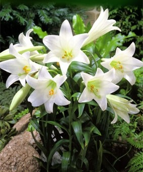 Lilium long 'Snow Queen'