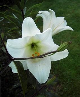 Lilium long 'White Heaven'