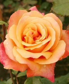 Роза 'Lolita'