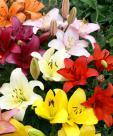 ЛИЛИИ LA Гибриды длинноцветковых и азиатских