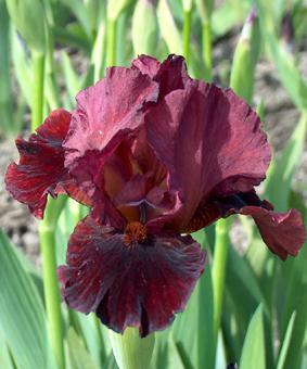Iris germanica 'Morning Show'
