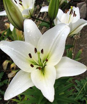 Lilium az 'Navonna'