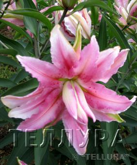 Lilium or 'Distant Drum'