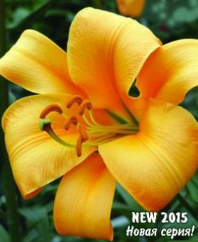 Lilium tr Orange Planet""""