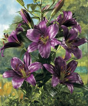 Lilium ot 'Purple Prince'