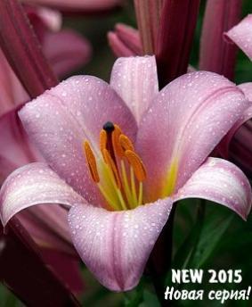 "Lilium tr Pink Planet'"""