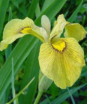 Iris pseudacorus x ensata 'Chance Beauty'