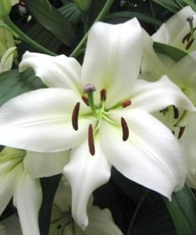 Lilium ot 'Rexona'