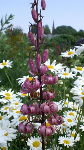 Lilium martagom