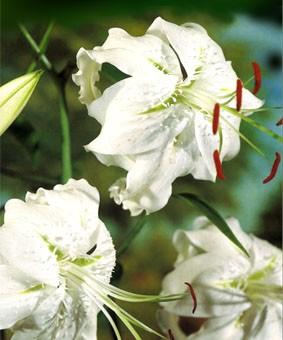Lilium speciosum 'Album'