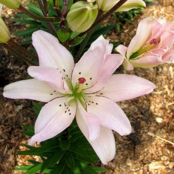 Lilium az 'Spring Pink'