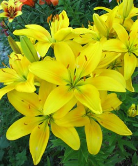 Lilium az 'Strong Gold'
