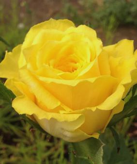 Роза 'Suela'
