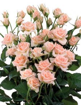 Роза 'Sweet Sara'