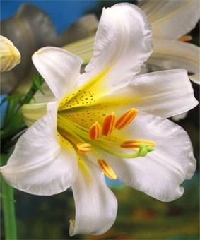 Lilium tr 'White Henryi'