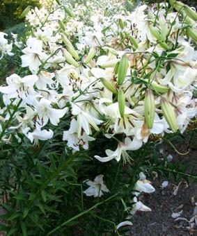Lilium tigr 'White Twinkle'