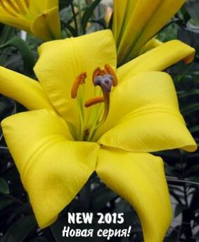 "Lilium tr Yellow Planet"""""