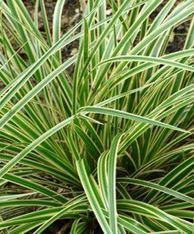 Carex Aureovariegata