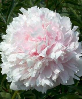 Paeonia 'Albert Crousse'