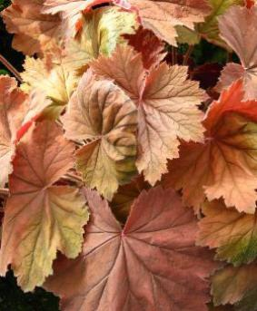 Heuchera 'Big Top Bronze'