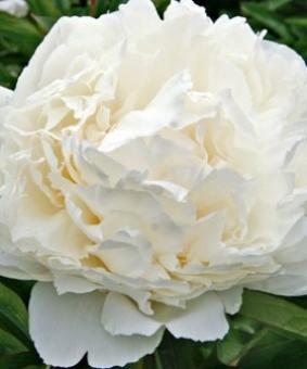 Paeonia 'Bowl of Cream'