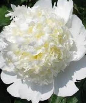 Paeonia 'Bridal Shower'
