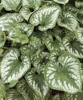 Brunnera macrophyla 'Emerald Mist'